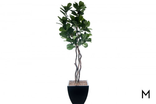 Fiddle Leaf Fig Tree with Planter
